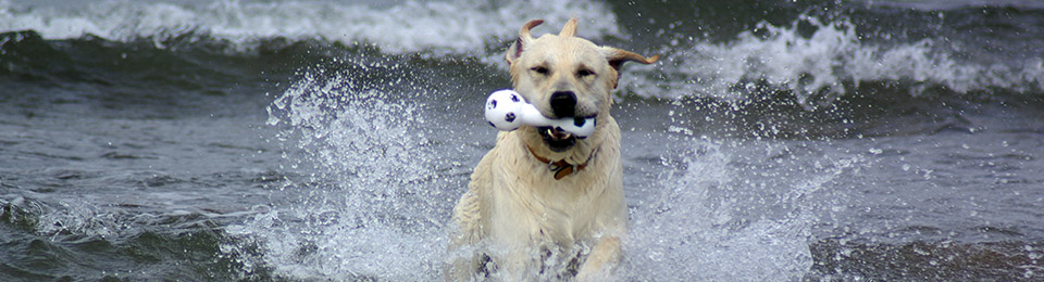 General Image - Dog Lab Runing In Water